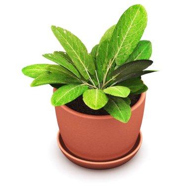 Sorrel plant in flower pot