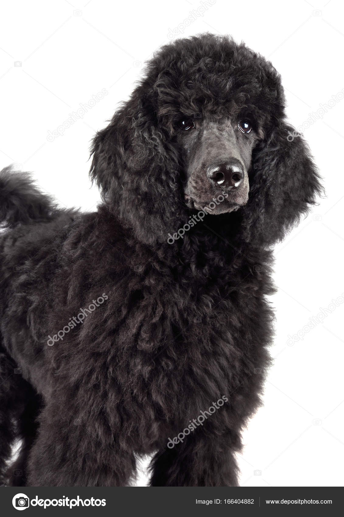 Black Poodle Puppy Stock Photo C Ealisa 166404882