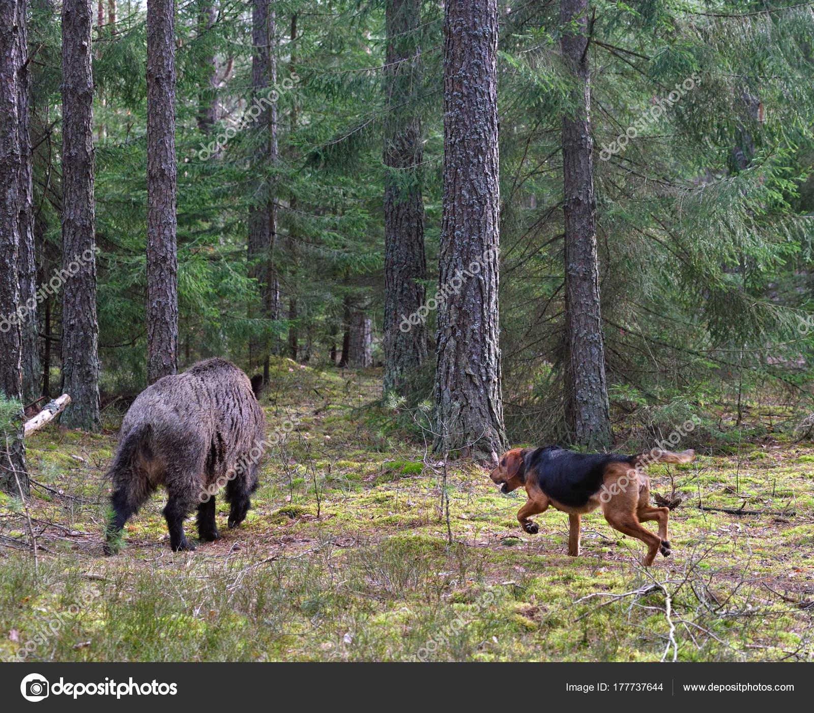 Hunting dog attack wild boar — Stock Photo © eAlisa #177737644