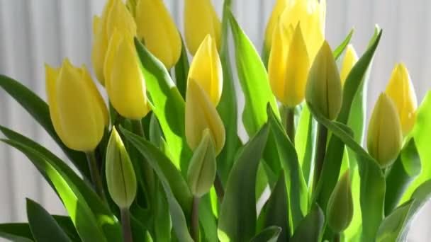 Včasná banda žlutých tulipánů v přirozeném slunečním světle na světlém pozadí