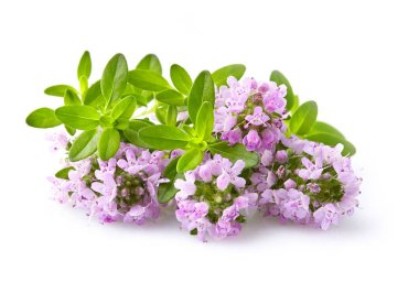 Thyme flowers on a white background