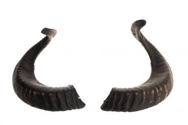 Pair of ram horns