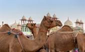 Fotografie Fotografie z velbloudů v ulici Dubai