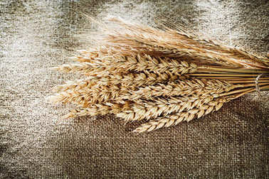 Bunch of wheat ears on sacking background