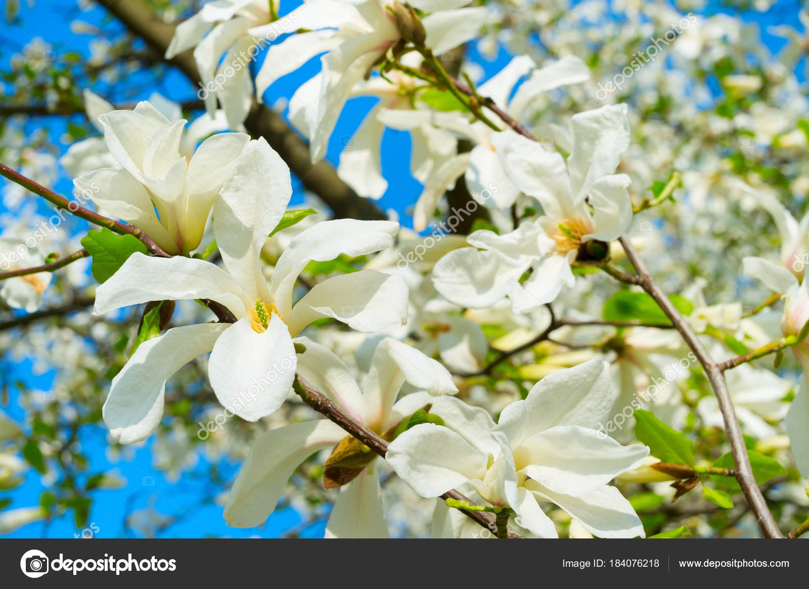 White Blossom Magnolia Tree Flowers Spring Stock Photo Joyfull