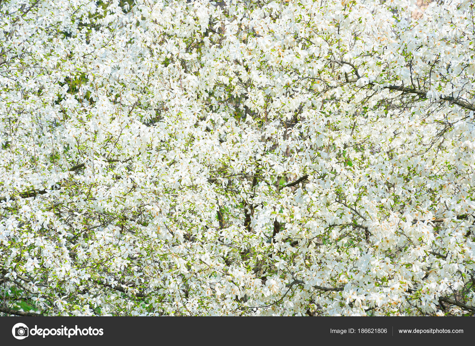 White Blossom Magnolia Tree Flowers Spring Stock Photo Joyfull