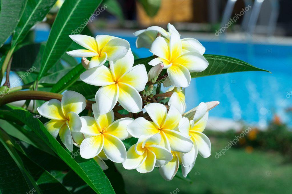 Frangipani flowers on a tree