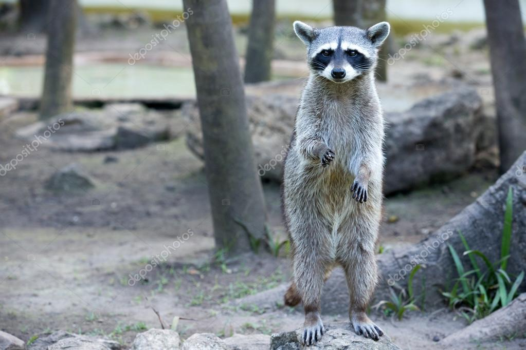 Raccoon standing and staring intently