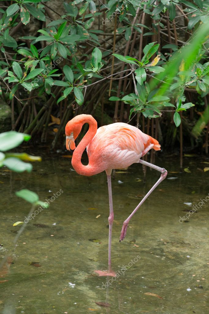 flamingo pássaro na água fotografias de stock pakhnyushchyy