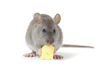 Little rat eating cheese