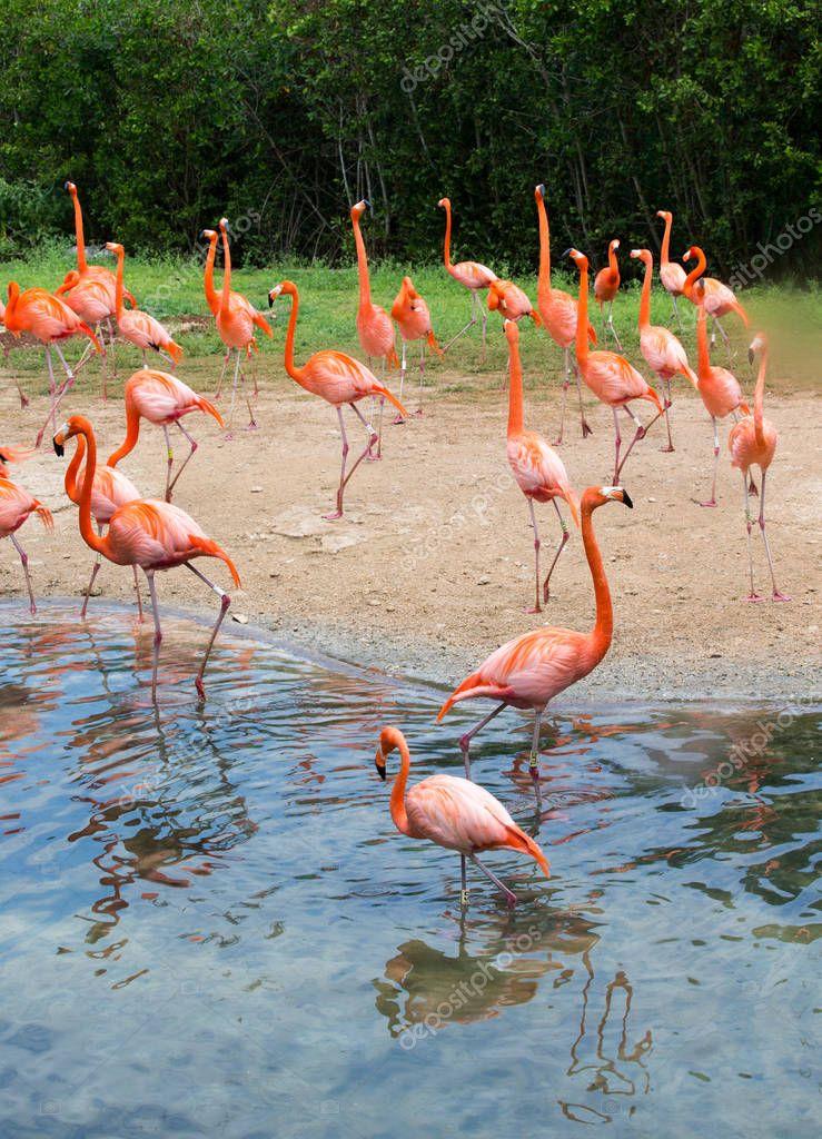 flamingo birds at the lake