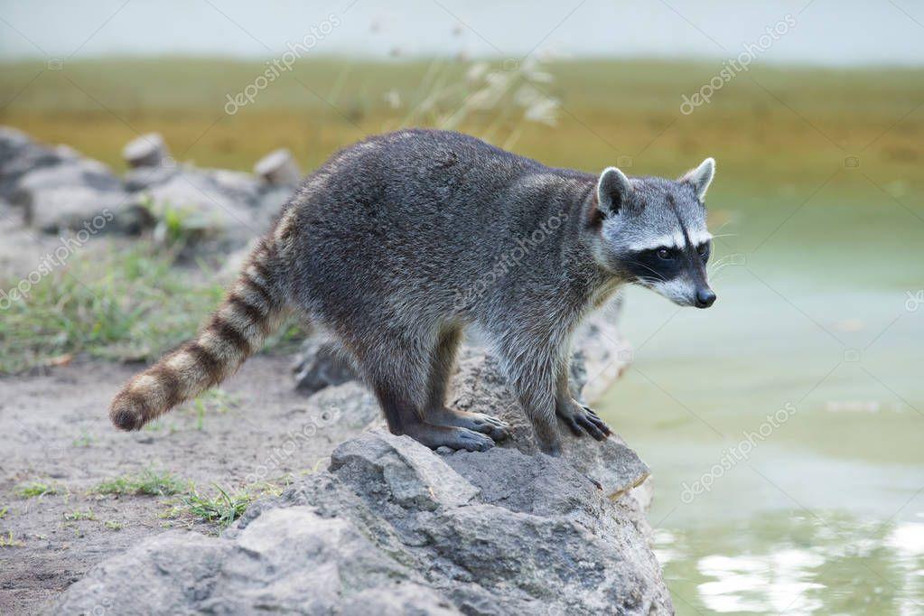 Raccoon in natural habitat
