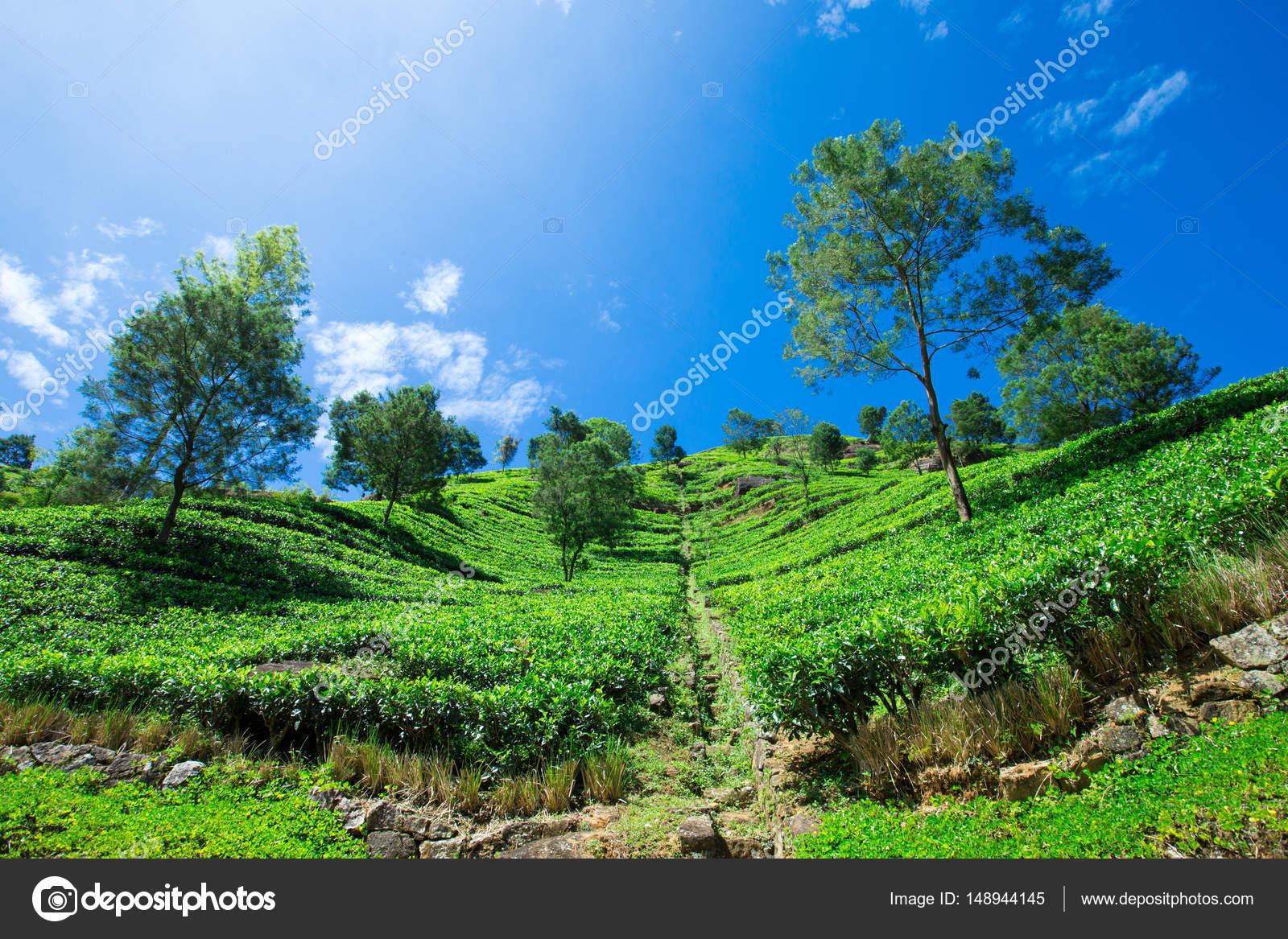 çay Plantasyon Doğa Arka Plan Stok Foto Pakhnyushchyy 148944145