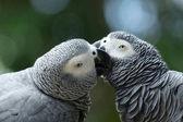Fotografie dva ptáci papoušek
