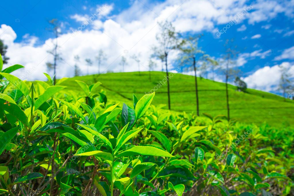 Tea plantation. Nature background
