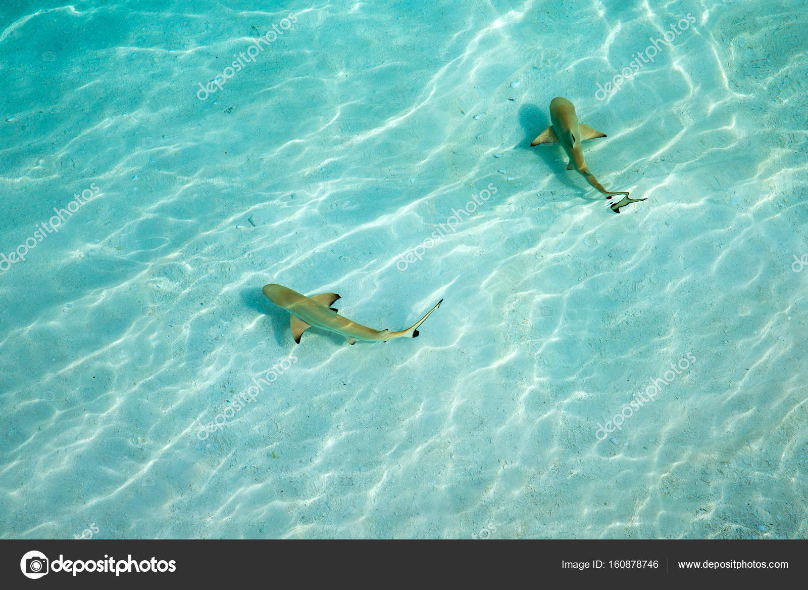 Reef sharks swimming in shallow water — Stock Photo