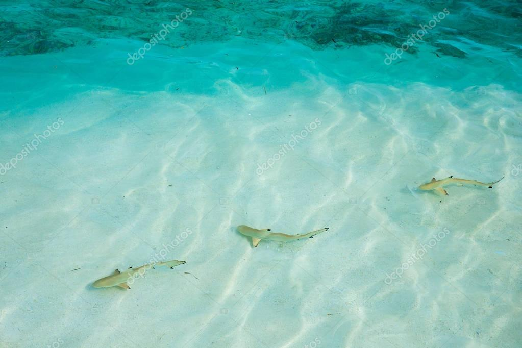 reef shark swimming in crystal clear water