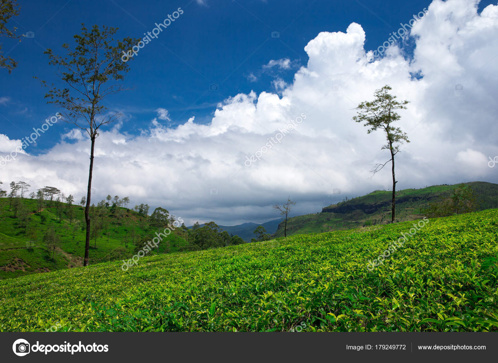 çay Plantasyon Doğal Görünümü Doğa Arka Plan Stok Foto