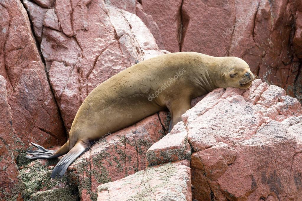 Wild fur seal rests on rock