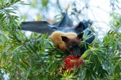 Fotografie Fledermaus hängend auf einem Baum Zweig Malayan bat