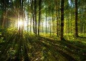 Fotografia raggi di sole attraverso gli alberi della foresta. Priorità bassa di legno verde della natura