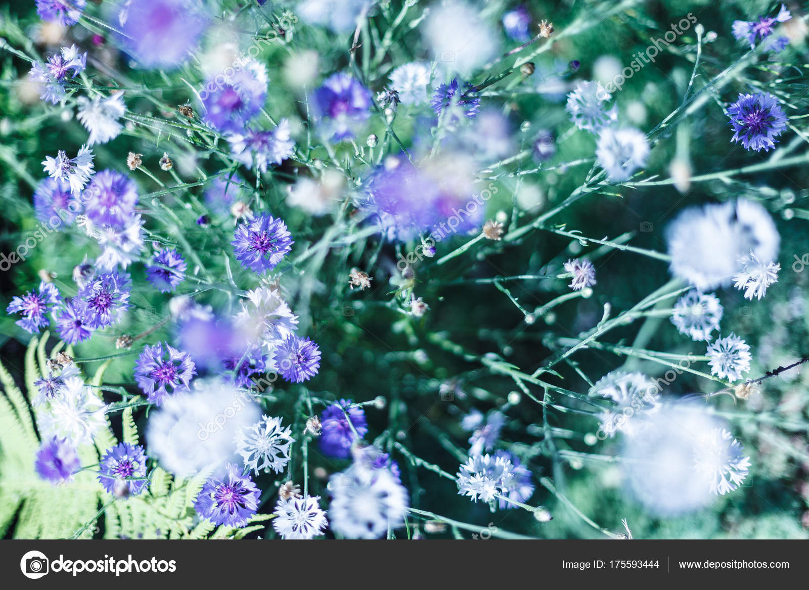 Field Of Tiny Blue Flowers Vintage Cool Tone And Shallow Deep Of
