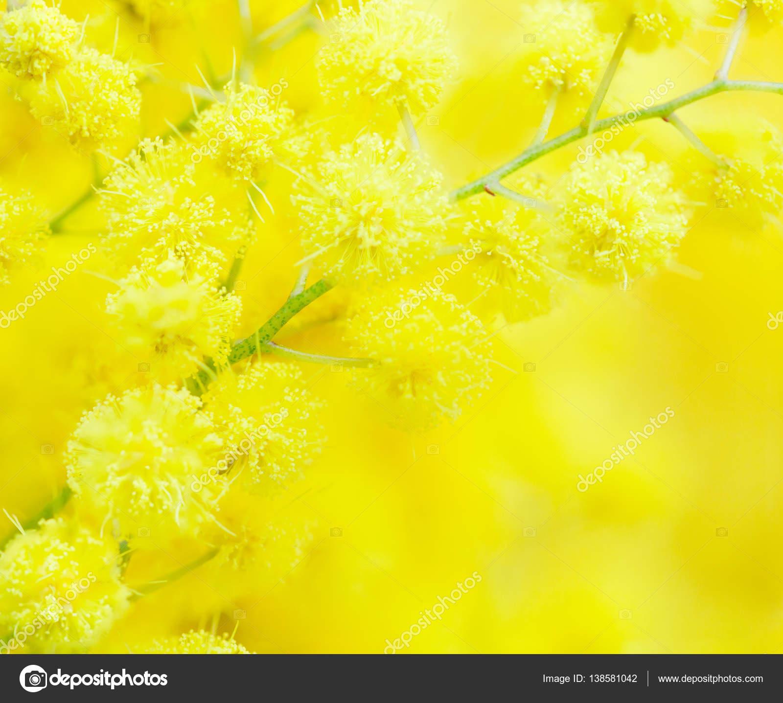 Yellow Mimosa Flower Close Up Stock Photo Antonel 138581042