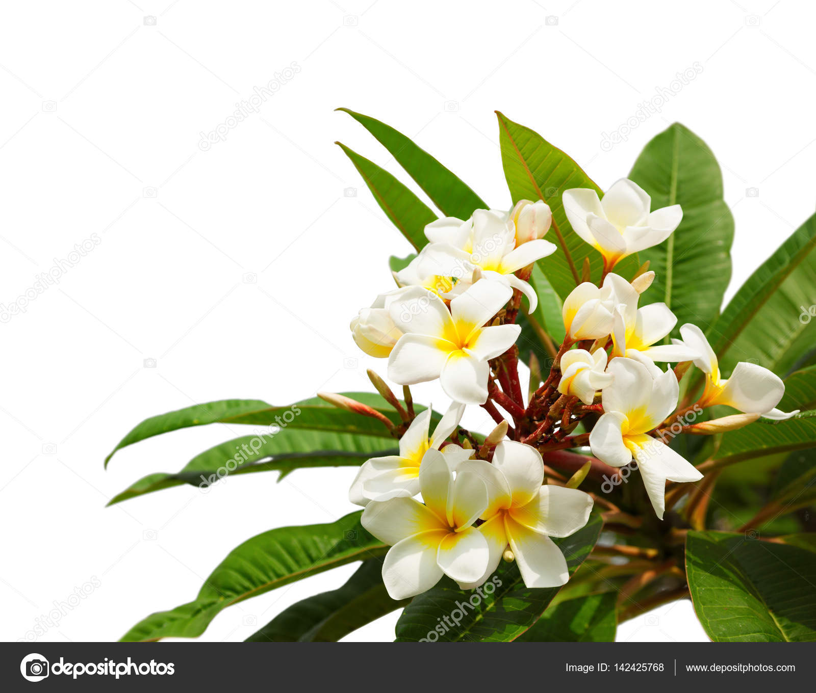 Branch Of Tropical White Flowers Plumeria Stock Photo Antonel