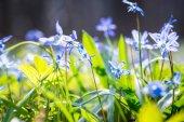 Fotografie Spring Blue Scilla (Squill)