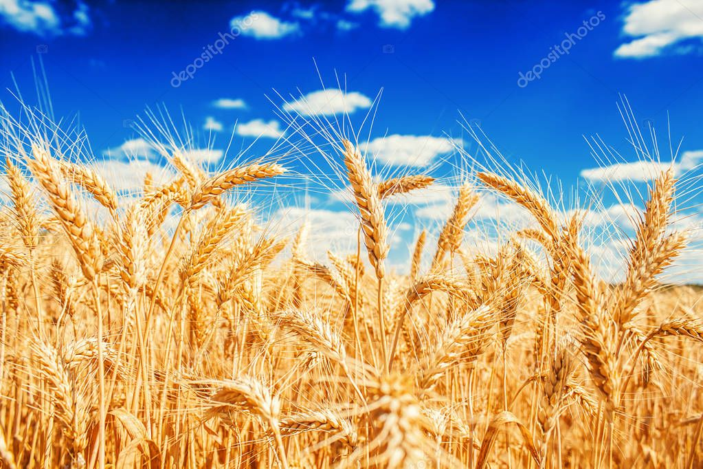 Gold wheat ears