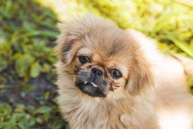 Pekingese puppy on green grass