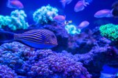 Fotografie Tropické ryby s korály