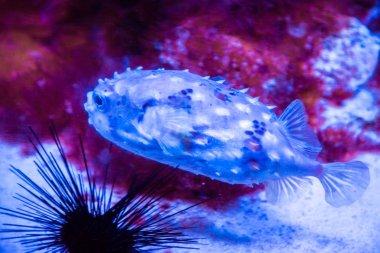 Beautiful puffer fish