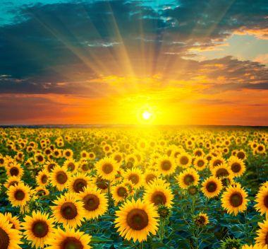 Sunflower fields during sunset
