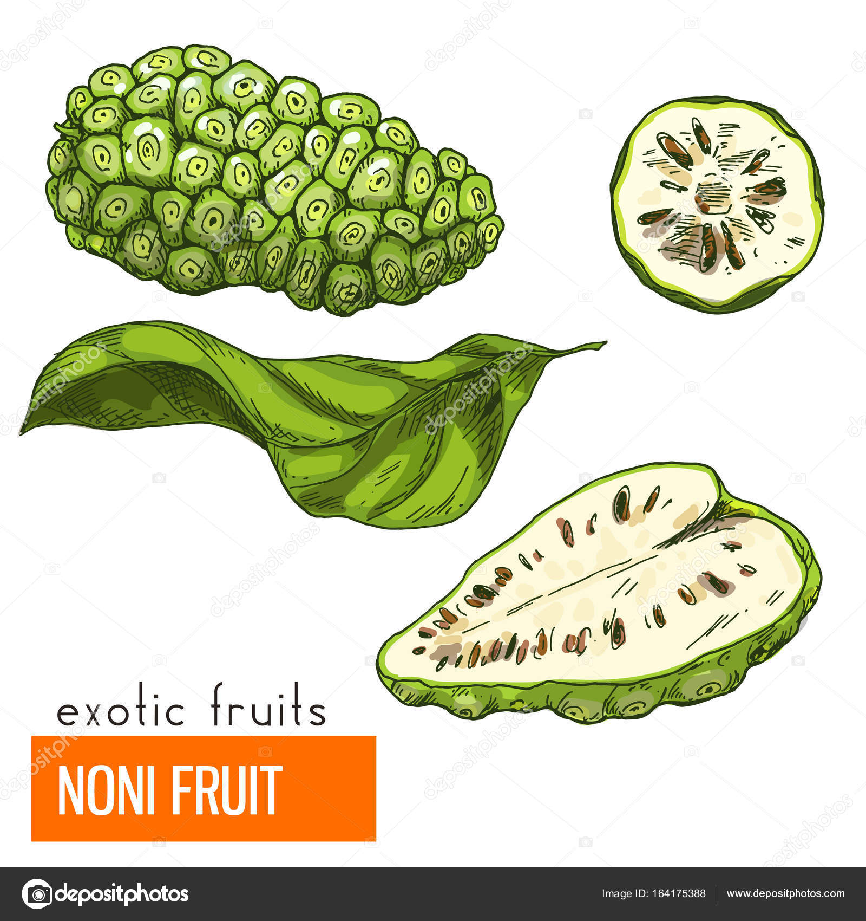 Noni-Frucht. Farbe-Vektor-illustration — Stockvektor © nurofina ...