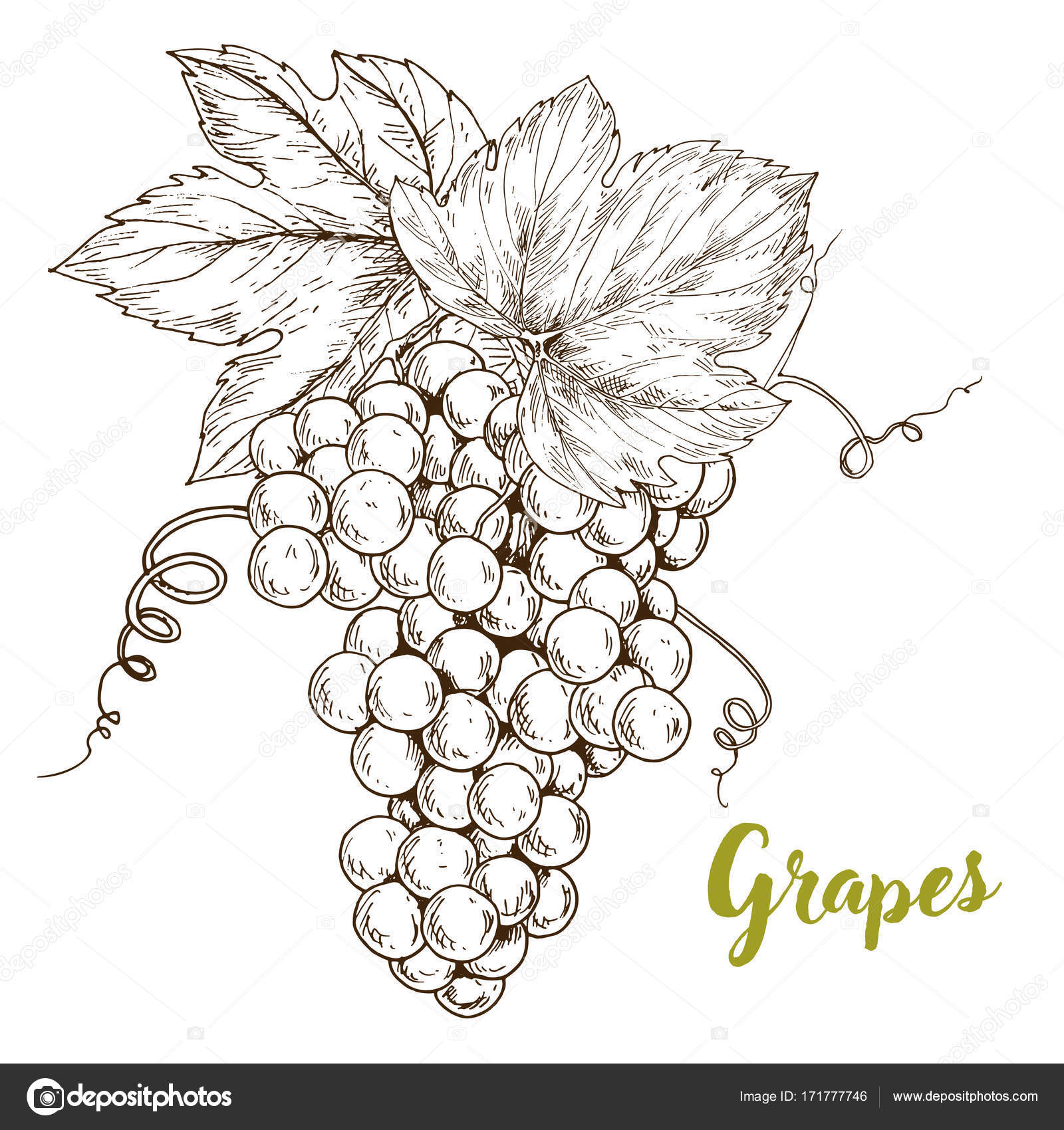 Stock Illustration Grapes Hand Drawn Sketch Vector