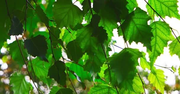 Velmi zelené listy podsvícení.