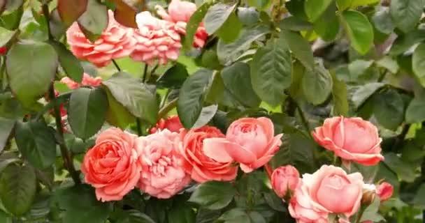 Svěží růžové růže růže Bush v zahradě