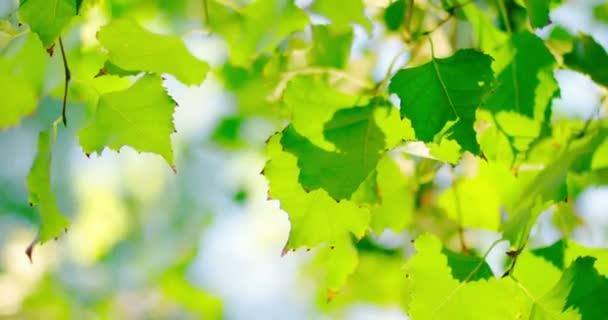 Friss zöld nyírfa sor háttérvilágítású levelek