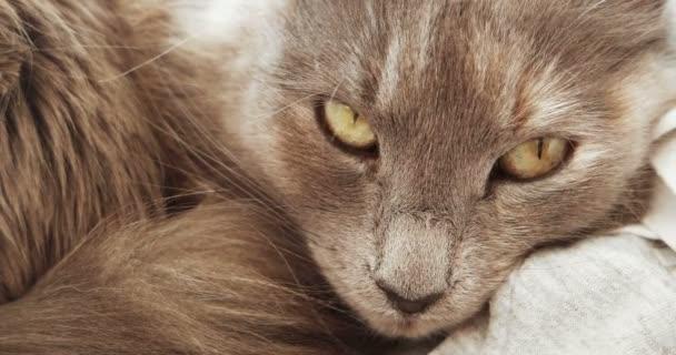 Primo piano del muso adorabile gatto grigio lanuginoso