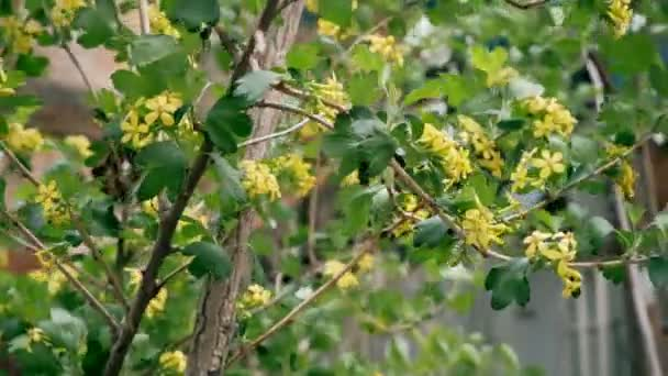 Bush with small yellow flowers in springtime footage stock video bush with small yellow flowers in springtime footage stock video mightylinksfo