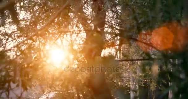 Weidenbaum im Sonnenuntergang