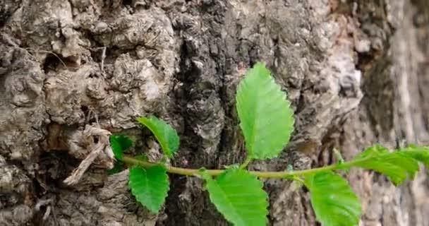 Malé Mladý výhonek jilmu na staré kůry na jaře