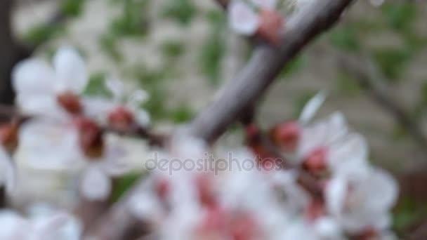Třešňové květy, rozmazané