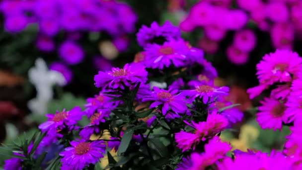 Beautiful Blooming Violet Flowers swaying in the wind. Closeup. Calm Cinematic Nature Background.