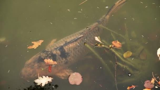 Velký kapr plave pomalu blízko povrchu vodu v rybníku spadaného listí. Fotoaparát pánve vlevo