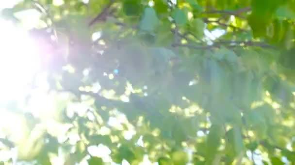 Sluneční prostřednictvím mladé březové listí