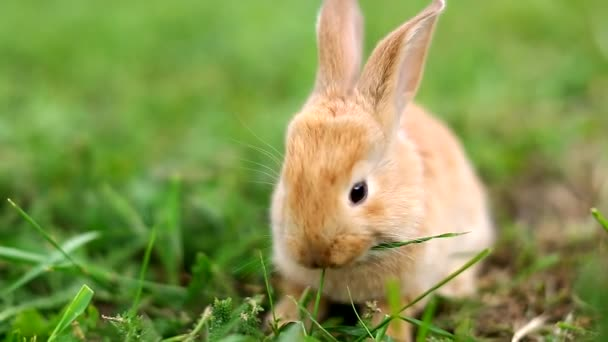 Cute orange bunny rabbit munching grass in the garden.