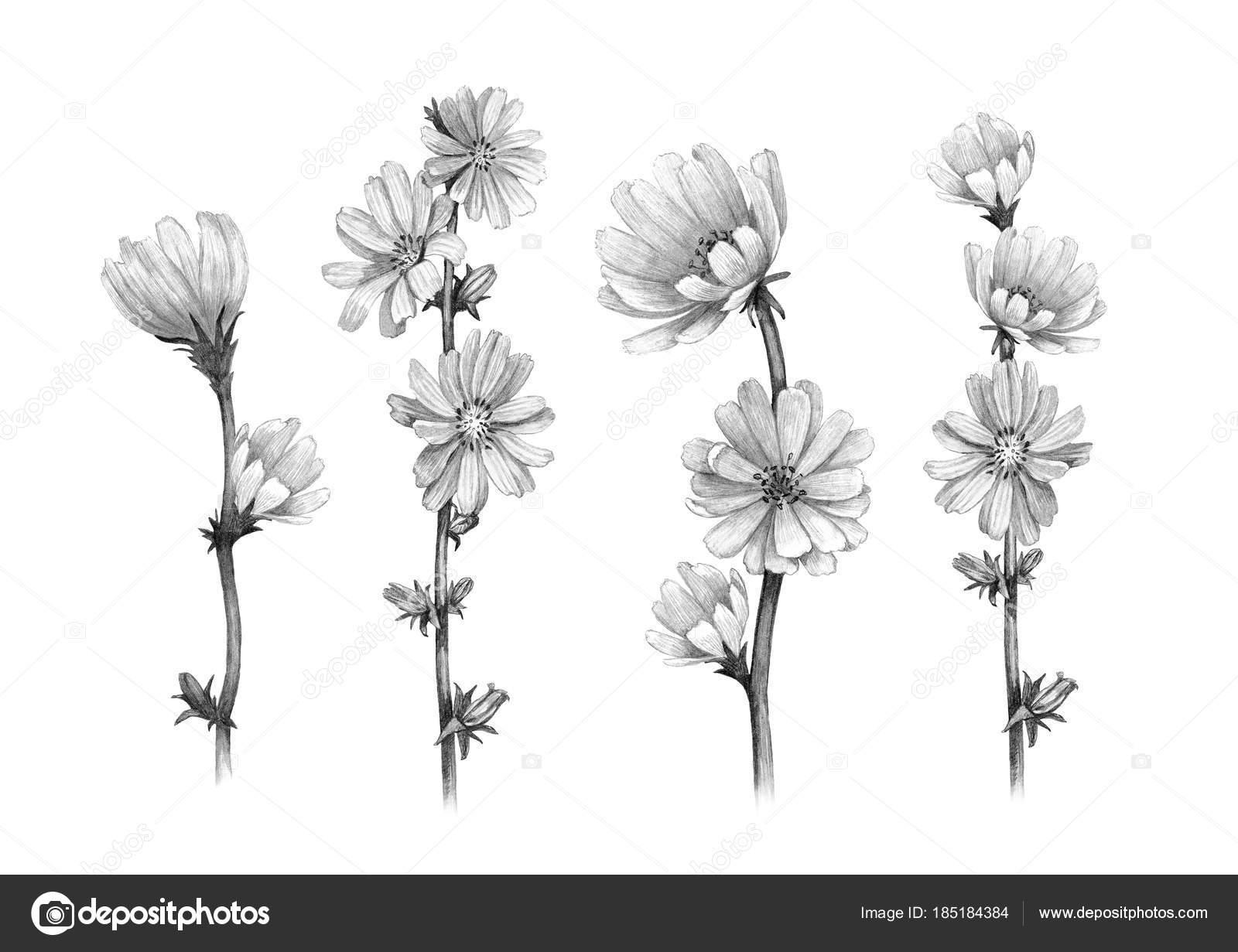 Bleistiftzeichnungen Von Chicorée Blumen Stockfoto
