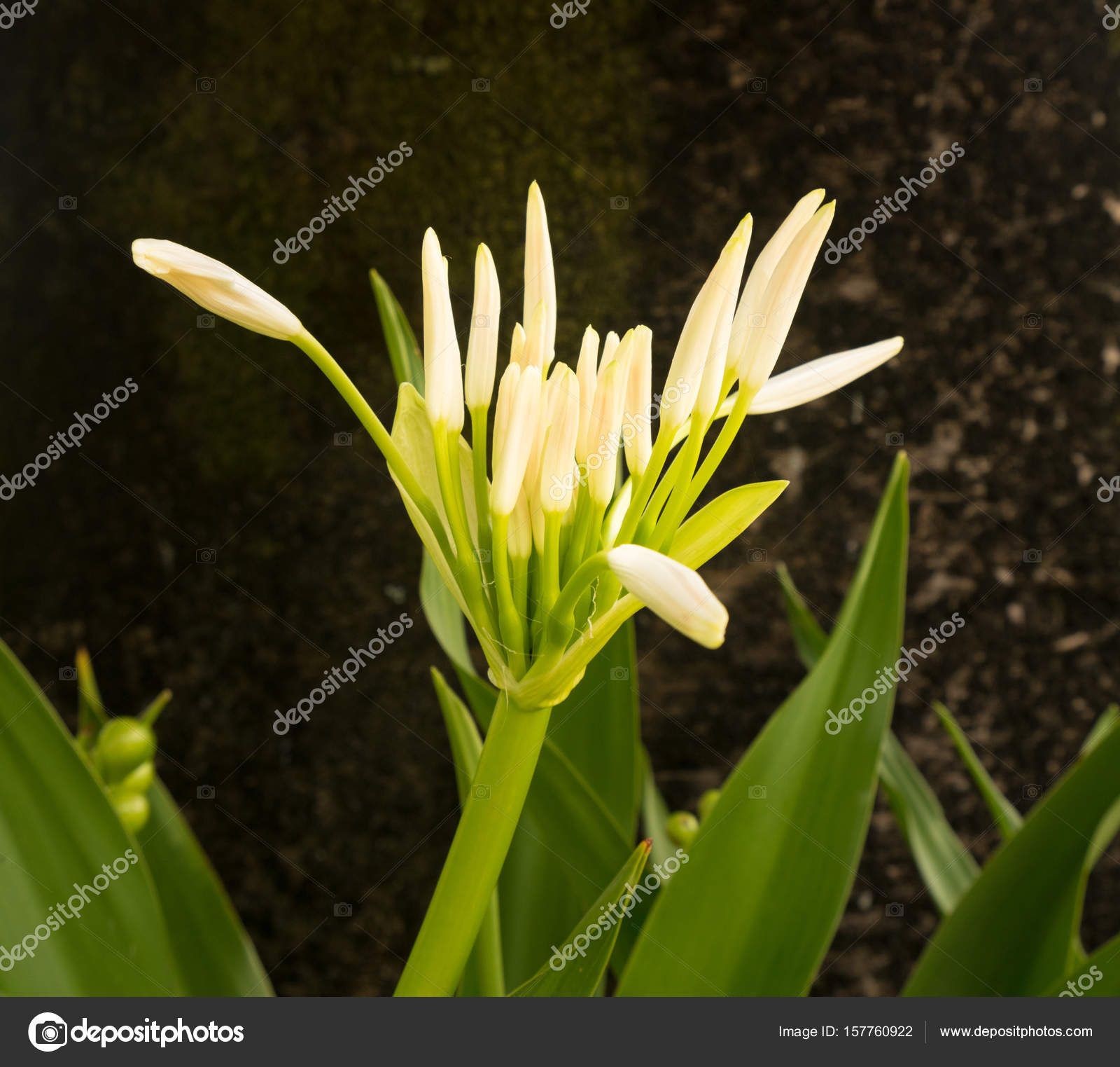 White spider lily flower in shade of a tree stock photo white spider lily flower in shade of a tree stock photo izmirmasajfo